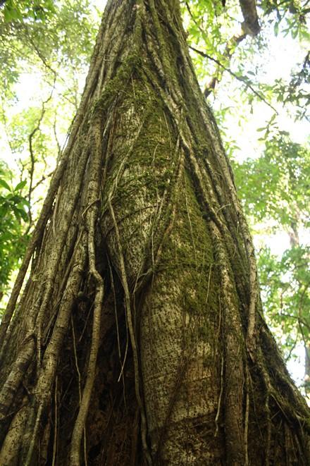 phawngpui, tree