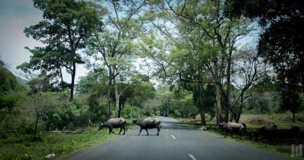 bull-crossing-road